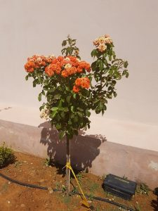 plytra mare λουλούδι